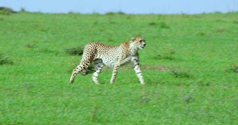 Male Cheetah Walking; Maasai Mara Kenya Africa