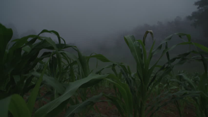 Rapid Moving Moving Cloud or Fog in a Cornfield