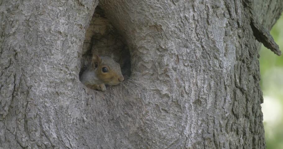 Grey squirrel in tree hole Grey squirrel in tree hole, Trinity Church, Manhattan, NY, USA