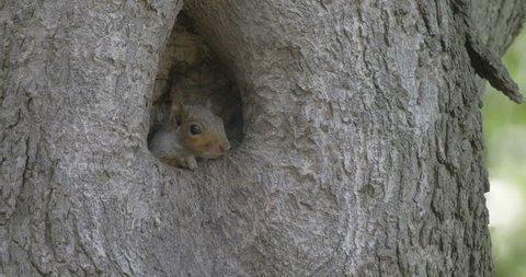 Grey squirrel in tree hole Grey squirrel in tree hole, Trinity Church, Manhattan, NY, USA
