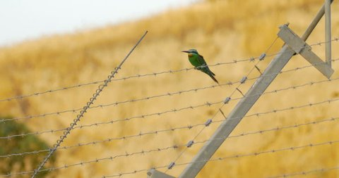 Blue cheeked Bee-eater on barbed wire, Jordan Valley, Israel