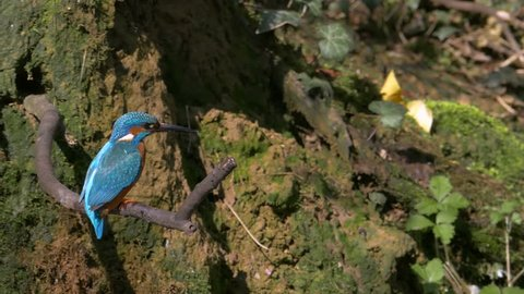 Slow motion Common kingfisher (Alcedo atthis) landing on a branch.