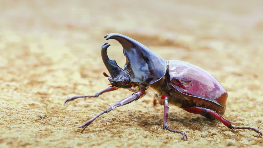 4k ProRes close-up Rhino Beetle ready for take off