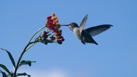 Hummingbird Feeding on Milkweed Flower Slow Motion 2000fps