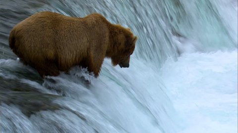 Wild brown bear river fishing at Brooks Falls for food remote wilderness Katmai National Park and Reserve Alaska USA