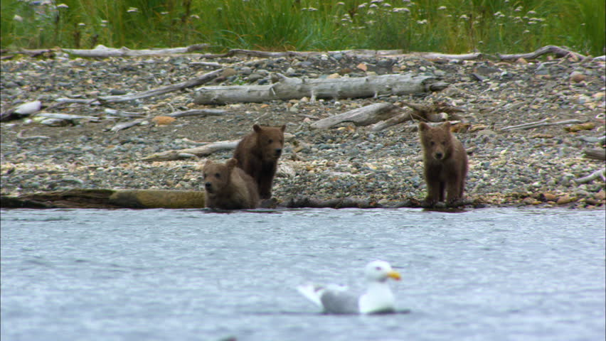 Brown bear swimming and four cubs by the shore in remote mountain wilderness Katmai National Park and Reserve Alaska America
