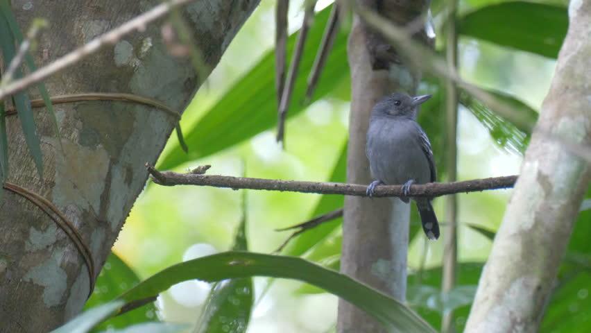 Header of antbird