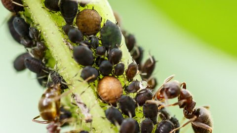 Dairying ants milking their aphids flock. Extreme macro view of symbiotic colony formed by farmer ants and plant-louses at crop stem, a mutualistic relationship not so favorable for human farmers