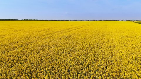 Aerial drone shot of beautifully yellow oilseed rape flowers in the field