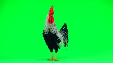 grey cock flaps its wings on the green screen