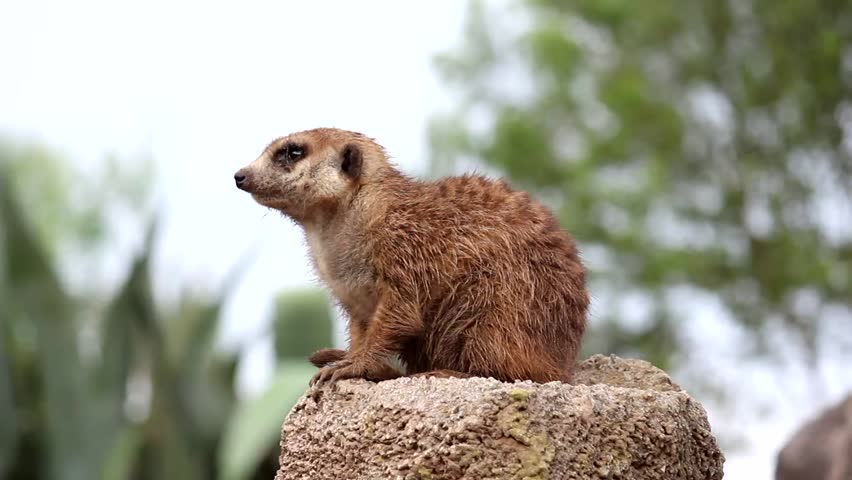 Meerkat watching from his vantage point in the Zoo. Argentina