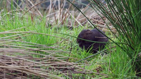 European water vole or northern water vole (Arvicola amphibius) eating on a grass bank