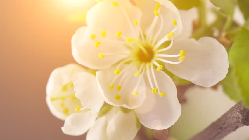 Beautiful Spring Cherry tree flowers blossom timelapse, extreme close up. Time lapse of Easter fresh blossoming cherry closeup. 4K UHD video