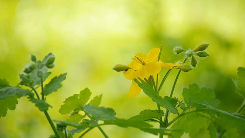 Medicinal plants celandine.