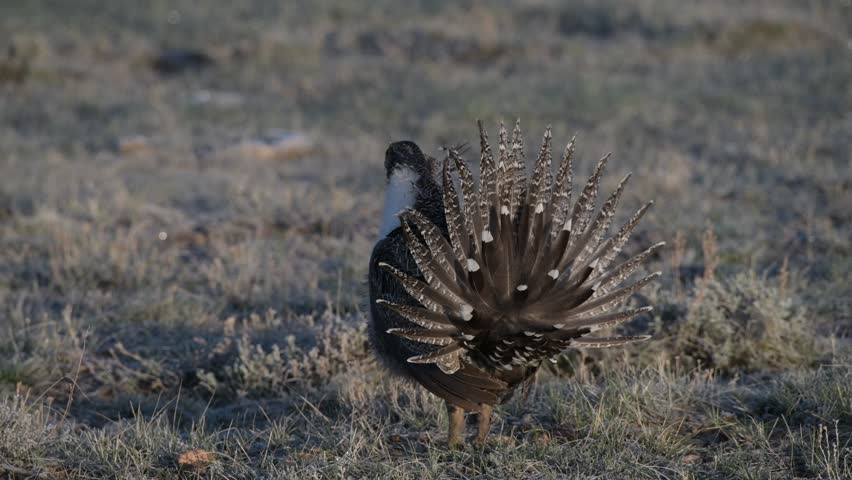 Greater Sage-Grouse Mating Display
