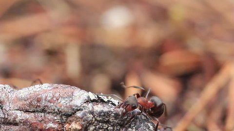 Red wood ants, Formica rufa, soldiers defending their nest in a pine forest in scotland during a sunny day in April.