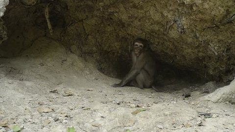 Life of Assam macaque in nature,Wildlife footage,Monkey looking for food