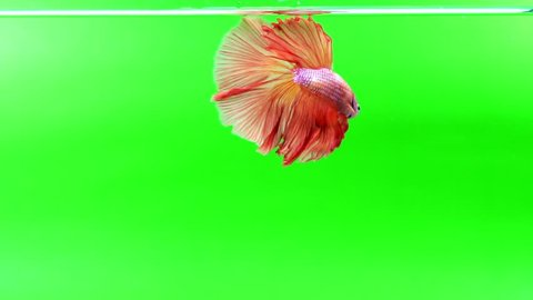 Slow Motion beautiful red siamese fighting fish on Green screen background.