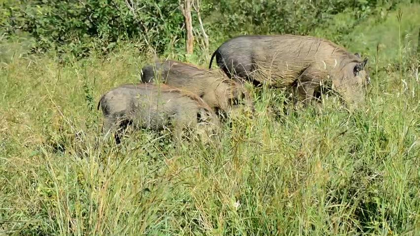 warthog in Krugerr National park in South Africa