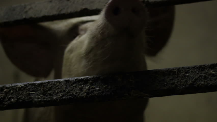 Pig Detail in a Stable. Mug. Close-Up | Shutterstock HD Video #1010562299