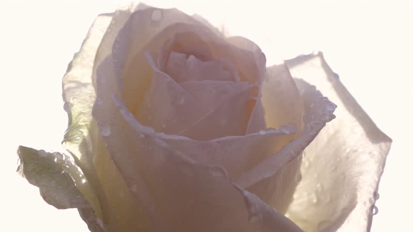 Close up panoramic view of beautiful pastel rose with water drops against light sky background in slow motion. Romantic flower in the garden in sunny day. Closeup shot with lens flare.