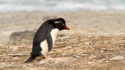 Rock Hopper Penguins shot in the Falkland Islands.