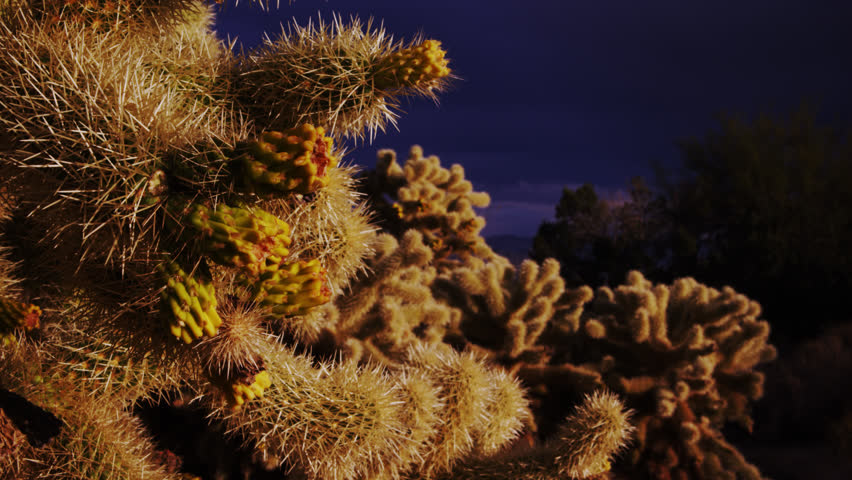 Budding Cholla Cactus during Clearing Storm
