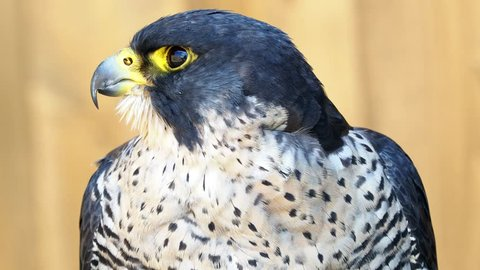 The peregrine falcon (Falco peregrinus) bird of prey portrait.