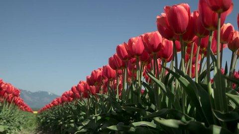 4K Roozengaarde Display Garden Tulip Skagit Valley