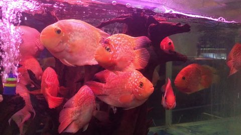 Group of blood parrot cichlid fish float and swim in clear glass fish tank.