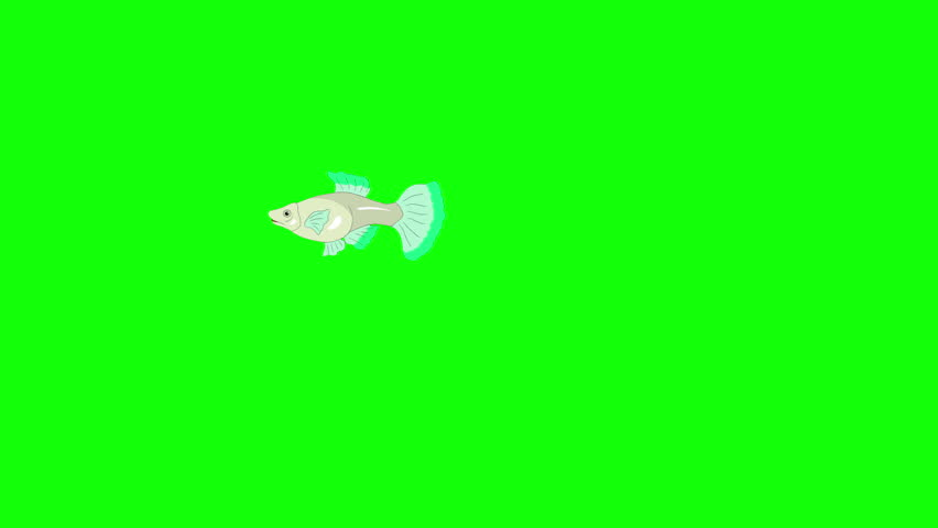 Small Green Guppy Aquarium Fish floats in an aquarium. Animated Looped Motion Graphic Isolated on Green Screen