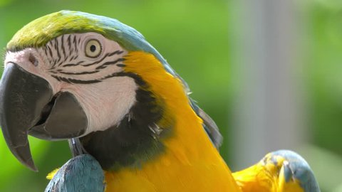 Professional video of Macaw Blue Golded parrot in 4K slow motion 60fps