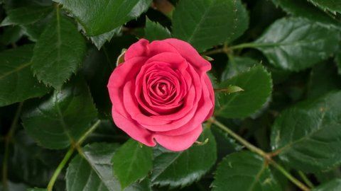 Timelapse of pink rose growing blossom from bud to big flower on green leaves background