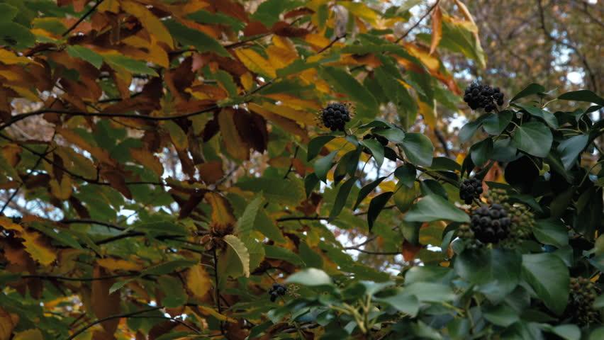 Header of ivy
