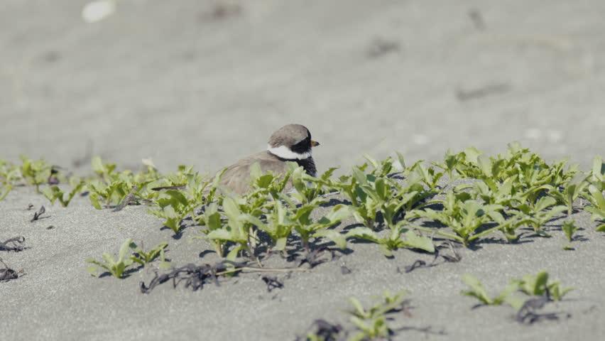 Header of plover