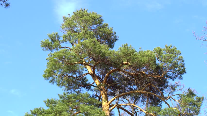 Coniferous tree with large needles against the blue sky in the spring warm day | Shutterstock HD Video #1010964239