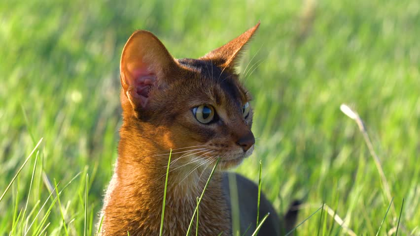 Beautiful abyssinian cat with wet fur among morning grass field