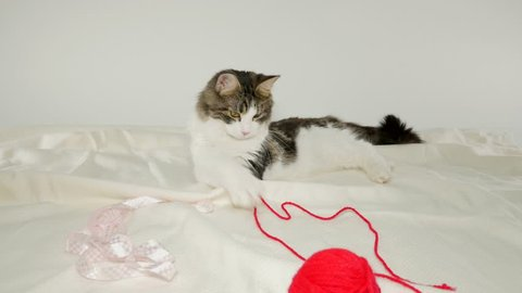Maine Coon Cat playng with yarn