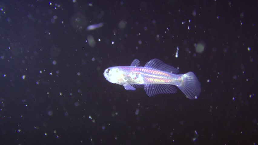 Transparent goby (Aphia minuta) against the background of a dark water column. | Shutterstock HD Video #1011032039