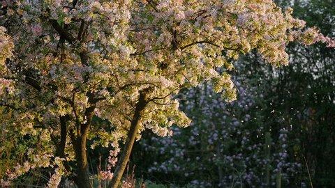 Stowmarket, Suffolk, England - May 2018. Spring Blossom falling on an evenings light, Stowmarket, Suffolk, England, United Kingdom