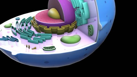 Human CELL - Mitochondria