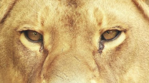 eyes of a lioness looking, close-up
