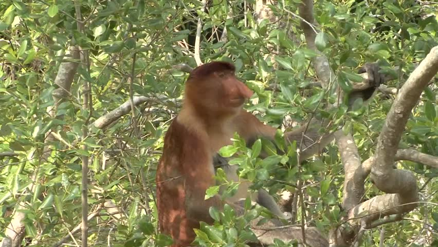 Proboscis Monkey male sit in mangrove forest tree looking around close up