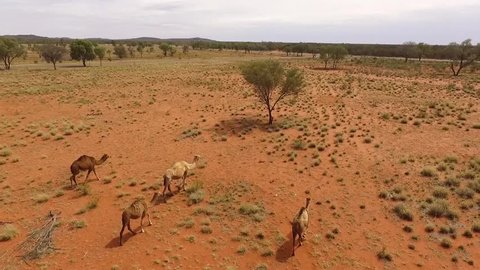 Outback Camels on the move. Northern Territory