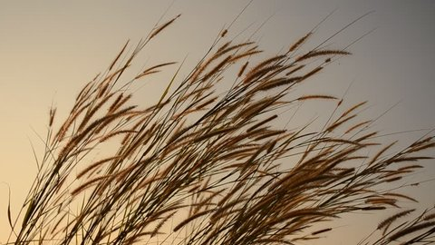 reed fields blown by the wind