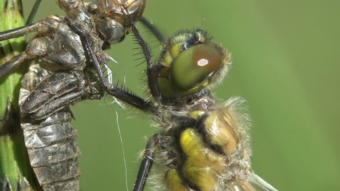 head with large eyes of a young newly born dragonfly, Birth insect. Adult dragonfly larval skin. Third instar. Macro