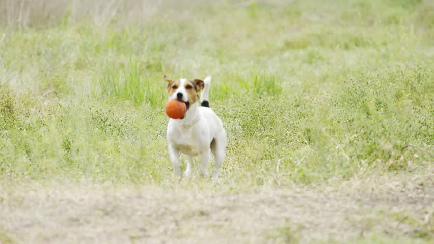 Slow motion of beautiful active dog of Jack Russell Terrier breed runs on camera through the meadow with a toy in his teeth | Shutterstock HD Video #1011269129