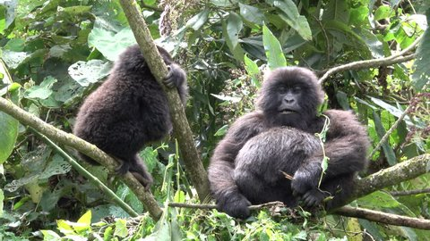 Mountain Gorilla, young mountain gorilla plays and angers pregnant female Mountain Gorilla, Democratic Republic of Congo, Virunga Mountain, Africa