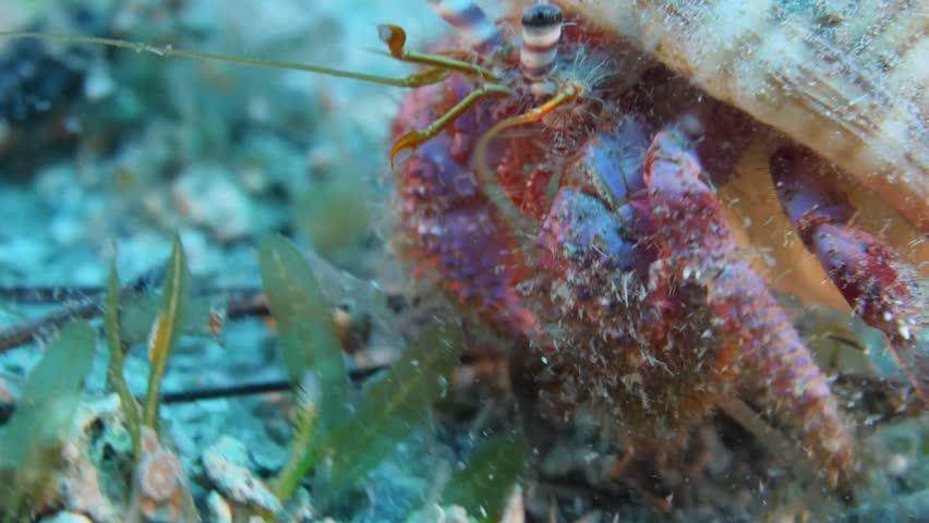 hermit crab underwater close up walking