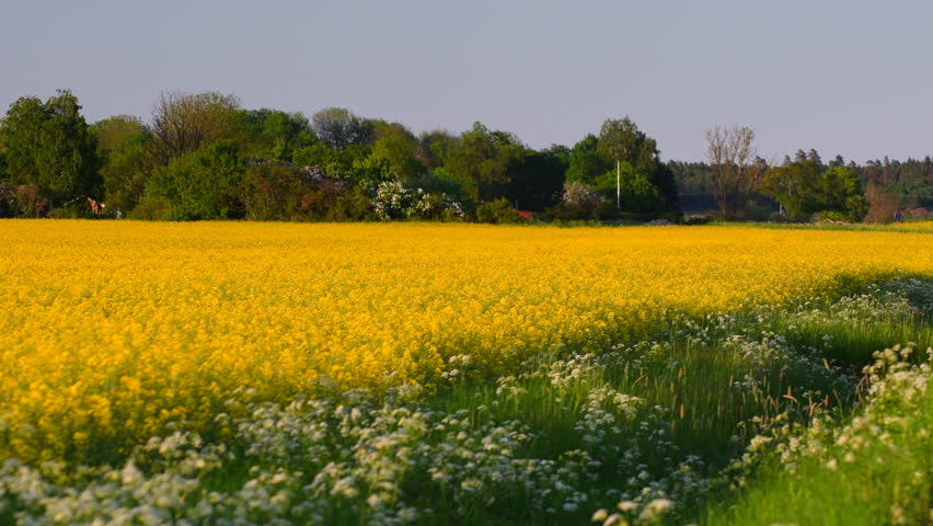 Yellow fields with blooming canola stock footage video 100 royalty yellow fields with blooming canola flowers mightylinksfo